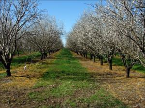 Almond trees begin to flower in early spring. Source: USDA Agricultural Research Service.