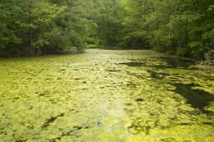Figure 1. Algal Bloom Covers A Lake. Photo Source: Zwerneman 2014.