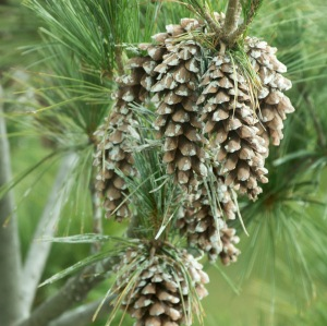 The cones of these white pines in St. Louis have opened and released their seeds while still on the tree.